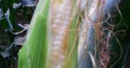 健康美味新寵兒-水果玉米(白米)